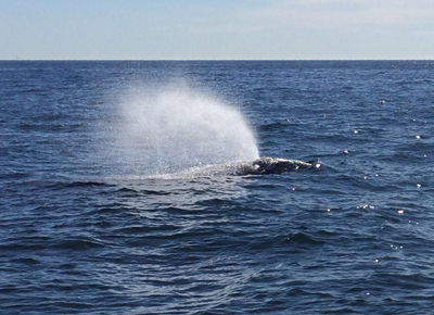grey whale spotted in dana point