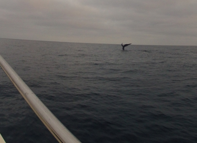 Whale Watching out of Dana Point