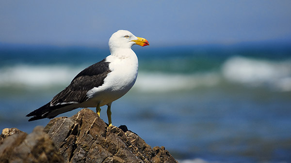 california-gull-dana-point