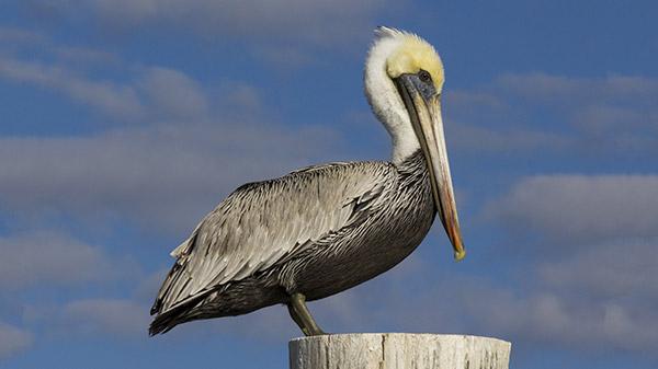 pelican-dana-point