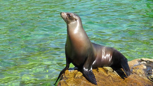 Seal Dana Point